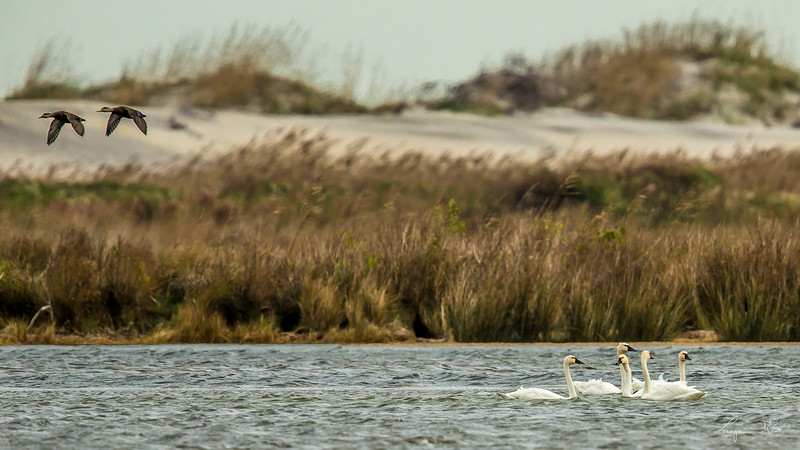 Cygne Siffleur et Canards noirs, Tundra swans and Black ducks, Pea island National Refuge, North Carolina.