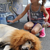 Peabody, Ma. 9-10-17. Emily Grieco pats a lion, or more precisely, a service dog named Keating who agreed to dress as a lion at the Peabody Lions Club counter at the 31st Annual International Festival in Peabody Center.