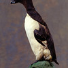 Champ the Auk (Champley's Auk), a rare Great Auk specimen donated by Thomas Cochran in the 1930s.