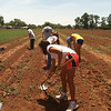 Students helping to tend corn in the community gardens at Jemez Pueblo