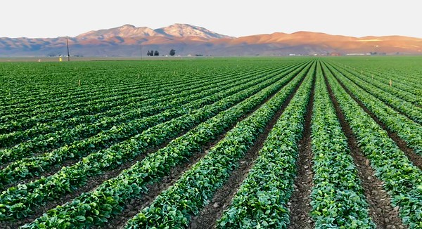 Gonzales, California lettuce field