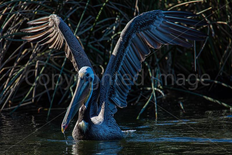 Pelican Grace