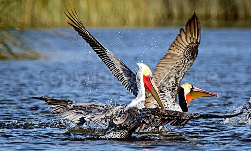 Pelican Plumage