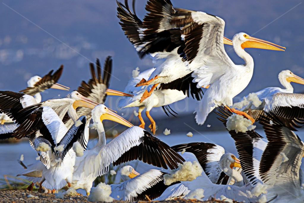 Pelican Glory