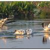 American White Pelicans, Peaceful Waters Wetlands