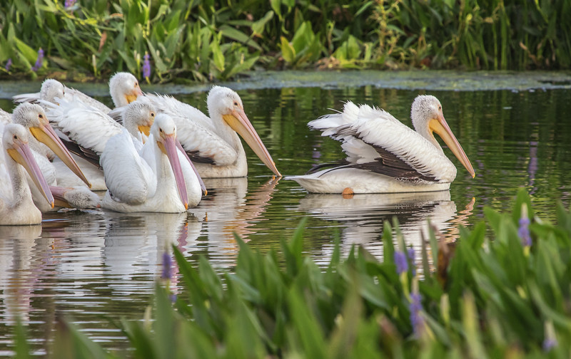 White Pelicans enjoying Peaceful Waters.