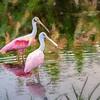 Spoonies at Peaceful Water Wetlands in Wellington Florida