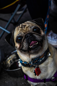 PeacockSubaru_BlackFlagRacing_OrlandoSubaruGroup_PugRescue-0270