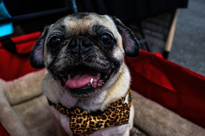 PeacockSubaru_BlackFlagRacing_OrlandoSubaruGroup_PugRescue-0304