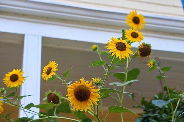 Pearl Sunflowers  |  Aug 2017