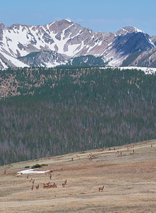Elk on the Skyline Trail