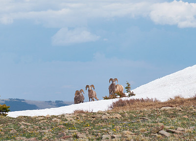 Bighorn Sheep on Trailriders Wall