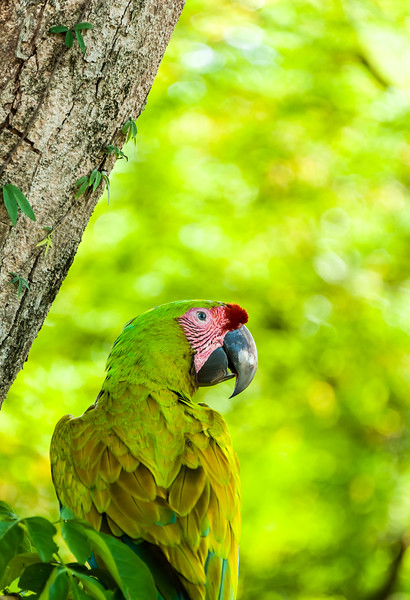 Green macaw from Playita area
