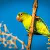 Red Chinned Parakeet