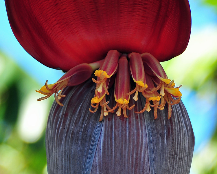 Banana bloom