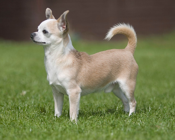 Smooth coated Chihuahua