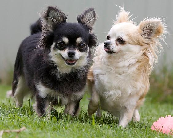 Long coatedcoated Chihuahua
