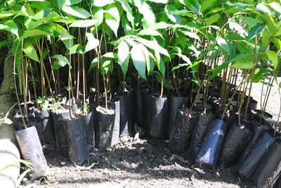 Pej Pem staff encourage Ch'ol farmers to plant Ash trees from seedlings such as these. The tree grows quickly - thus reversing sooner the effects of deforestation. Its leaves can be used in making tea, its fruit can be eaten, and it also has medicinal uses.