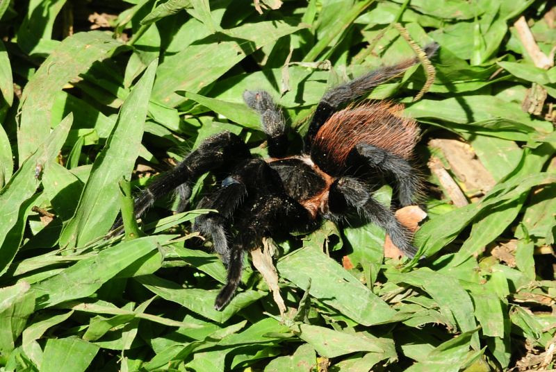 "The students disturbed this tarantula when aerating the compost pile. Although <a href=""http://en.wikipedia.org/wiki/Tarantula"">Wikipedia</a> says, ""most species of tarantulas are not dangerous to humans,"" we still kept a healthy distance from this arachnid!"
