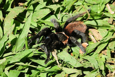 """The students disturbed this tarantula when aerating the compost pile. Although Wikipedia says, """"most species of tarantulas are not dangerous to humans,"""" we still kept a healthy distance from this arachnid!"""