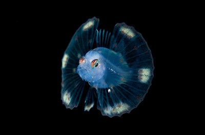 Larval Green Lionfish.