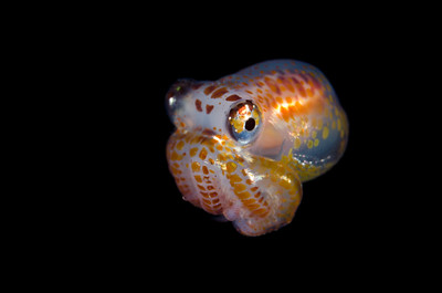 Larval octopus.