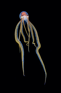 Pelagic Octopus