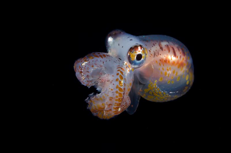 Larval octopus.