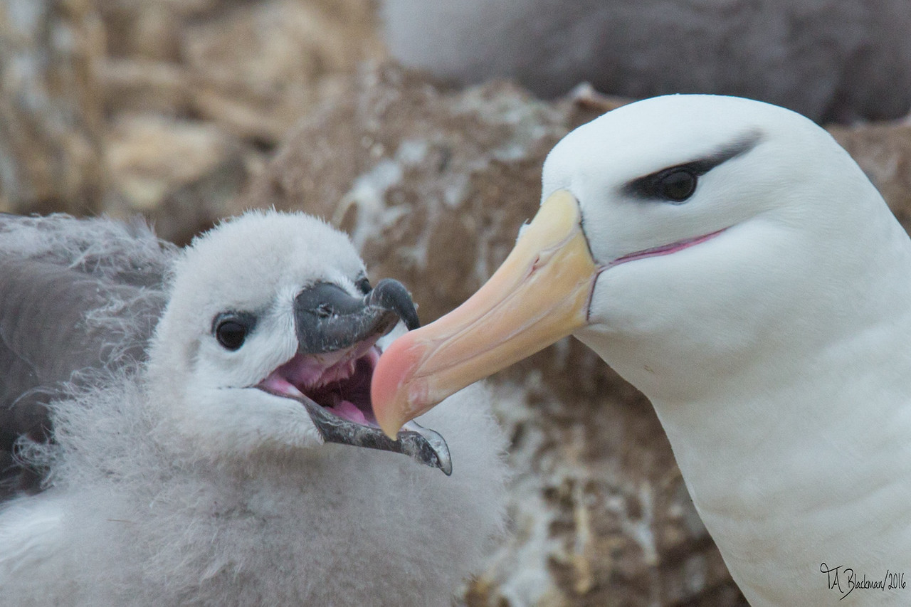 Black-browed Albatross chick