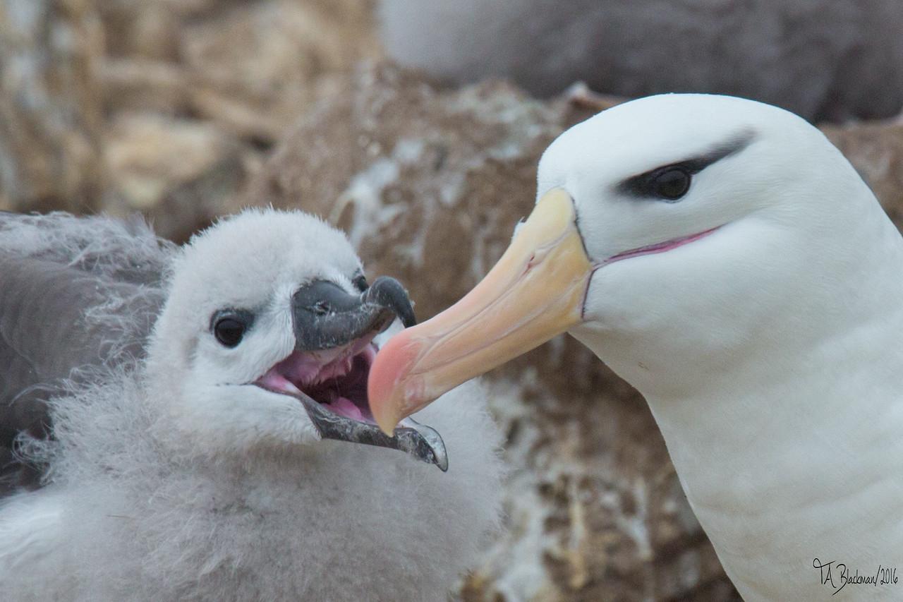 Black-browed Albatross chick