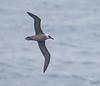 Sooty Albatross juv