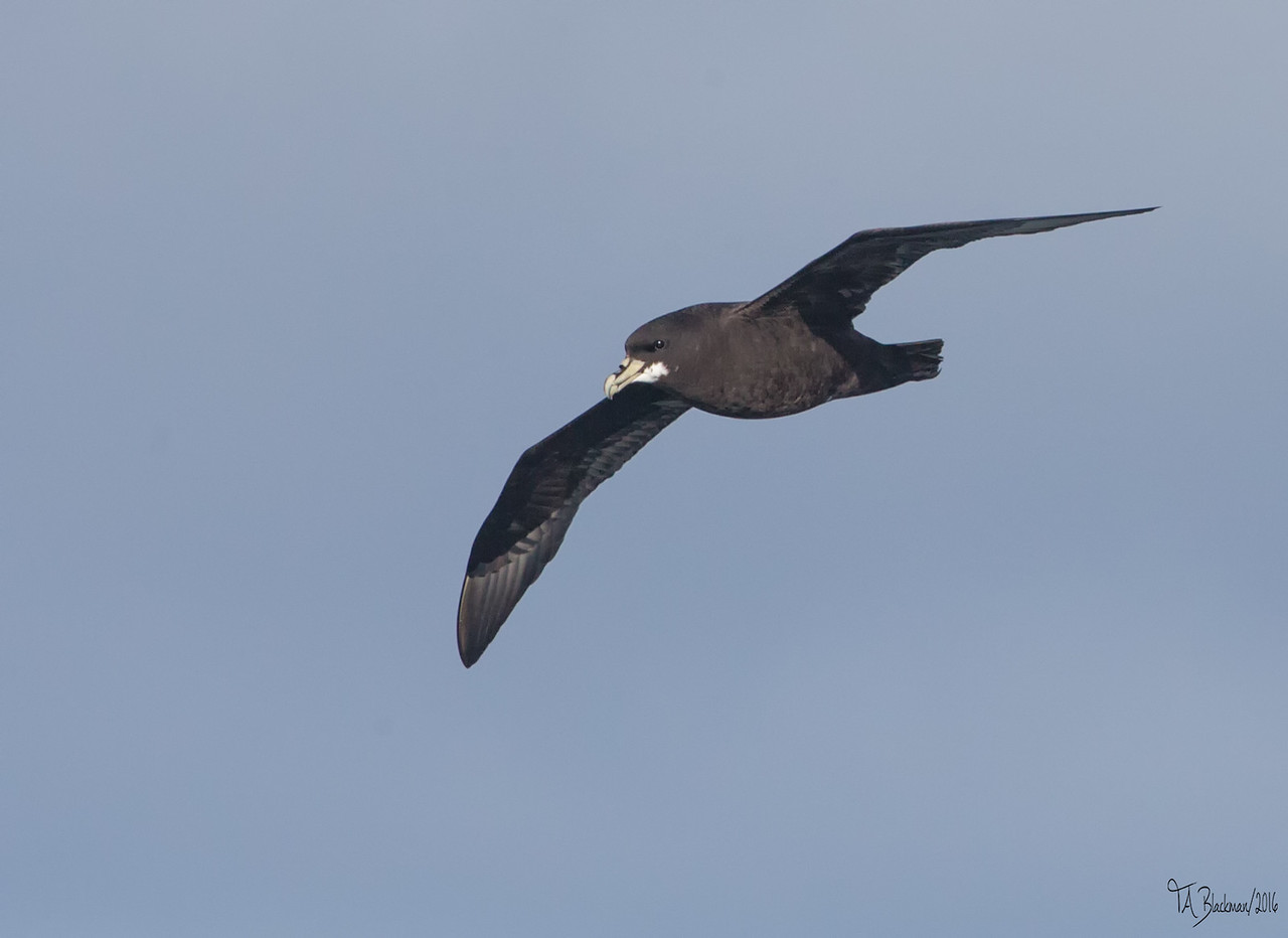 White-chinned Petrel