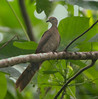 McKinley's Cockoo Dove