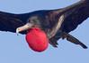 Frigetetbird_Great TAB10MK4-9420