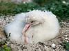 Albatross Chick Albino TAB10MK4-7440