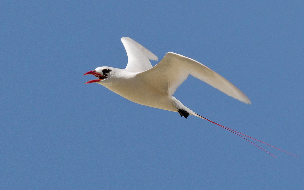Tropicbird_Red-tailed TAB10MK4-12506
