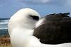 Albatross_Laysan sleeping TAB10MK4-11817