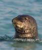 Seal_Monk TAB10MK4-8840