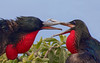 Frigatebird_Great fight TAB10MK4-9661