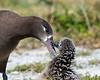 Albatross_BF chick TAB10MK4-7357