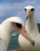 Albatross_Laysan Pair TAB10MK4-11821b
