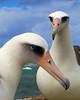 Albatross_Laysan Pair TAB10MK4-11821b-20086
