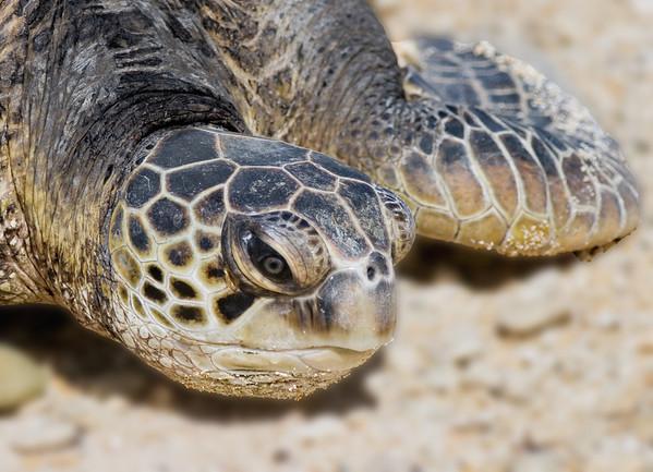 Turtle_Green-Sea TAB10MK4-7417