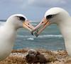 Albatross_Laysan pair chick TAB10MK4-11838