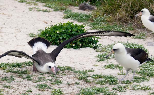 Albatross_Laysan landing TAB10MK4-10633