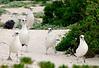Albatross_Laysan Marching TAB10MK4-8556