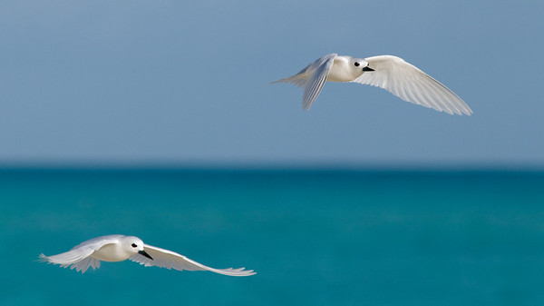 Tern_White pair flying TAB10MK4-7952