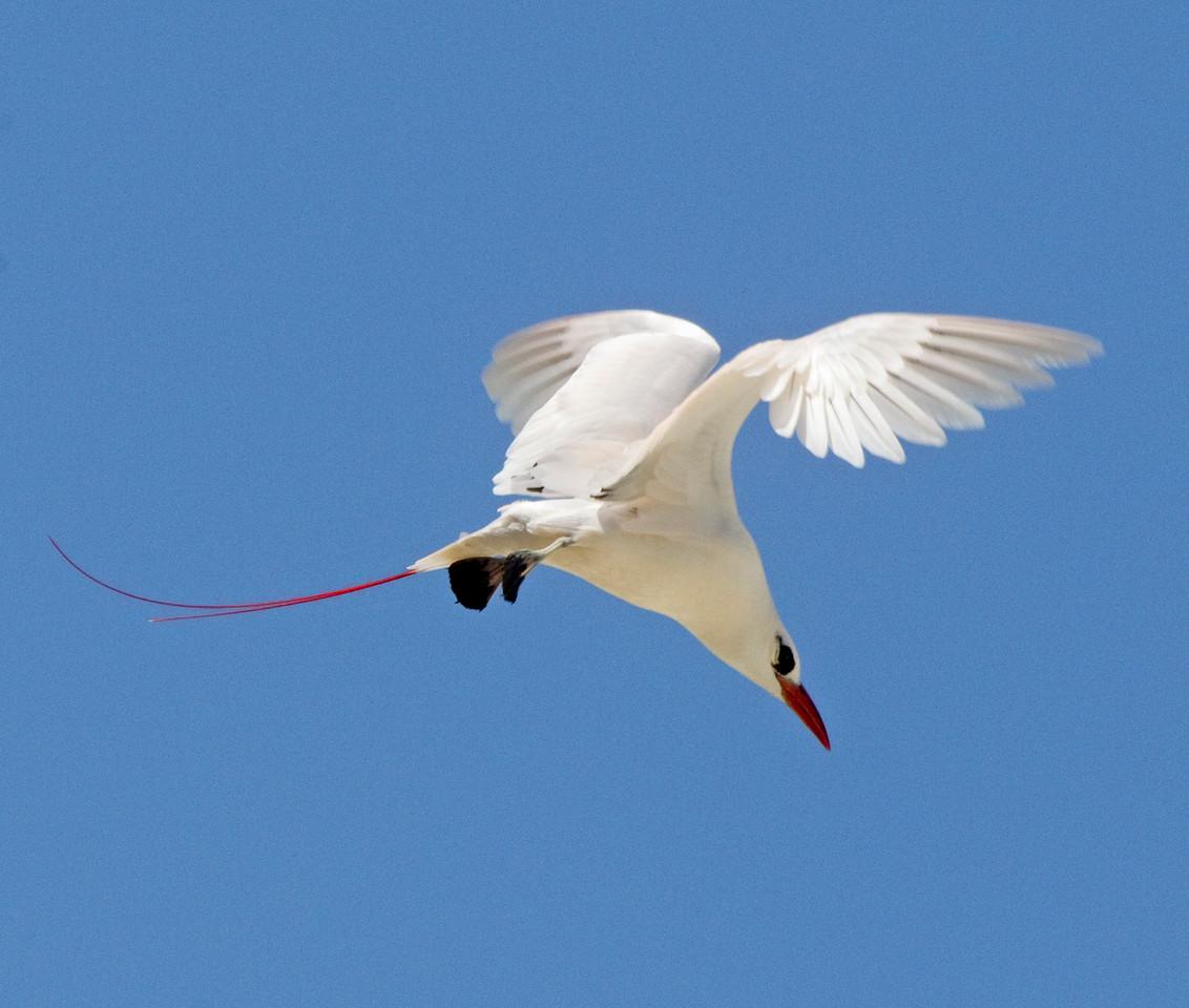 Tropicbird_Red-tailed TAB10MK4-12555