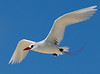 Tropicbird_Red-tailed flying TAB10MK4-8075