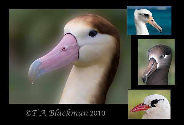 Midway Albatross Head Shots 13 x 19